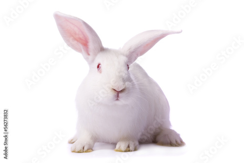 Curious young white rabbit isolated on white background.