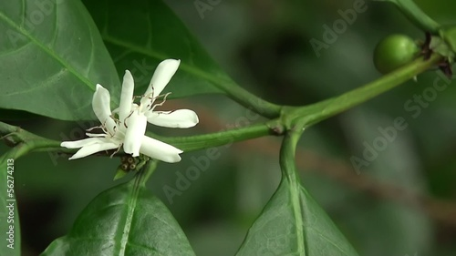 Flower of coffee tree