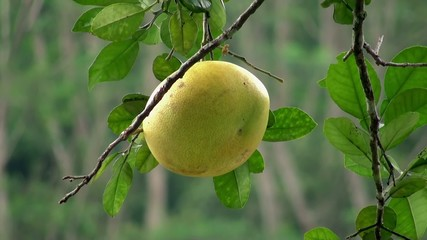 Ripe grapefruit on the tree