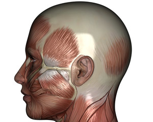 Human Anatomy Muscle Left Head