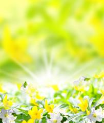 Anemonen, frühlingshaftes Hintergrundbild