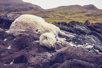 Dead and decomposing sheep in mountain landscape