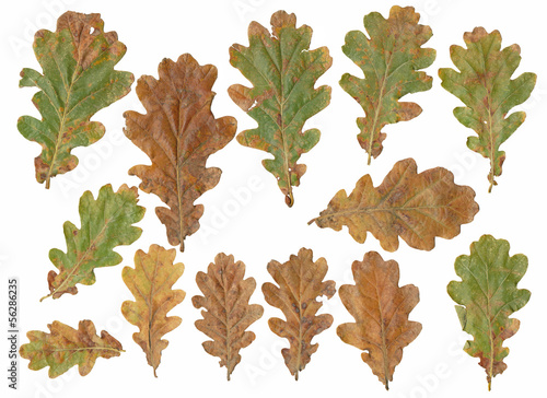 oak tree leafs isolated on white background.