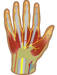 Hand Anatomie - beugeseitig