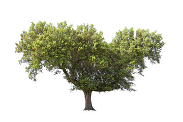 Holm oak isolated on white background