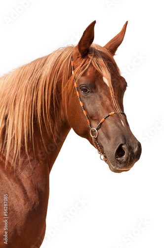 Purebred arabian stallion