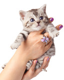 kitten on a white background. Adorable young cat in woman hands.
