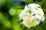 Tropical flowers, white frangipani bunch