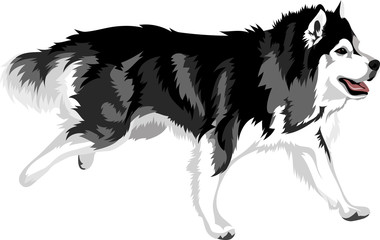 running dog of breed malamute