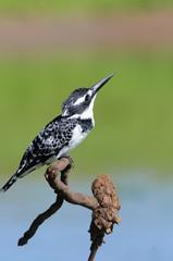 Kingfisher (Ceryle rudis)