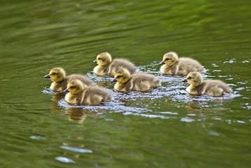 Sechs Gänseküken im Wasser