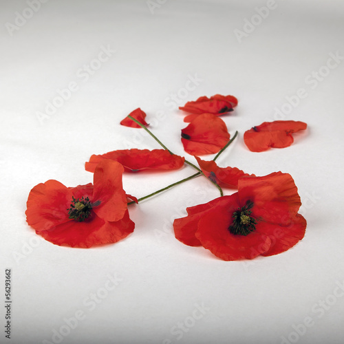 Poppies - for Remembrance Day - Isolated on White