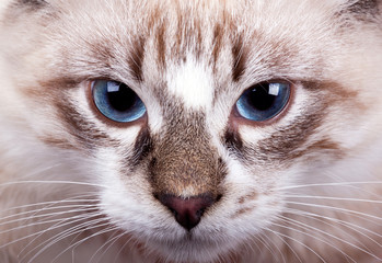 young blue-eyed cat