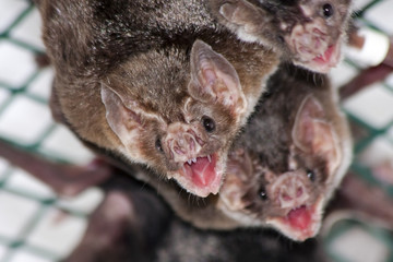 Common vampire bat (Desmodus rotundus) in a zoo