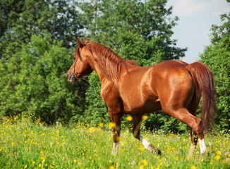 running chestnut horse in the meadow