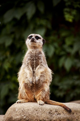 Cute meercat on a rock