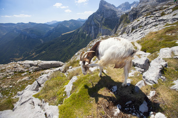 wild goat looking at the horizon at the edge of a mountain