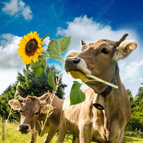 Aluminium Alles Liebe zum Geburtstag / Kuh mit Sonnenblume