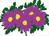 Chrysanthemum purple