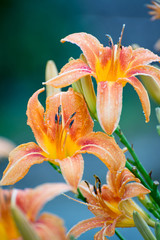 Beautiful orange lily close-up