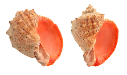 Cockleshells isolated on a white background.