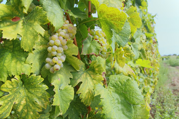 Grapes of Chardonnay on vine