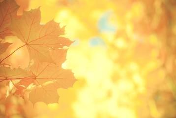 Gelbe Herbstblätter (Spitzahorn) (bearbeitet)