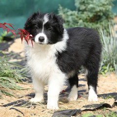 Nice border collie puppy in the garden