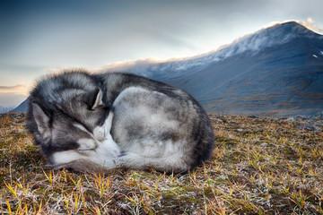 sleeping Siberian Husky in the mountains
