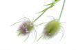 (Dipsacus silvestris) Wilde Karde - 2 Blüten liegend auf weiß