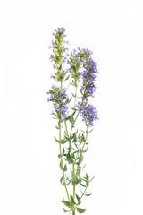 (Hyssopus officinalis) Ysop  - stehend vor weißem Hintergrund