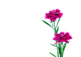 Sweet william flower