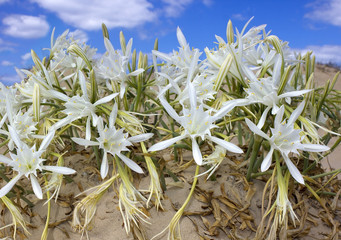 wild lily on the sand
