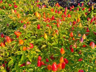 Ornamental pepper plant in a garden