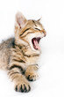 Little striped kitten growls