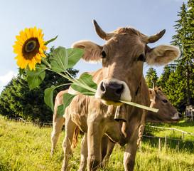 Alles Liebe zum Geburtstag: Kuh mit Sonnenblume