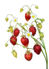 Wild strawberry twig