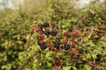 Bramble, Rubus fruticosus