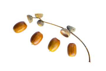 Acorns and sprig on white background