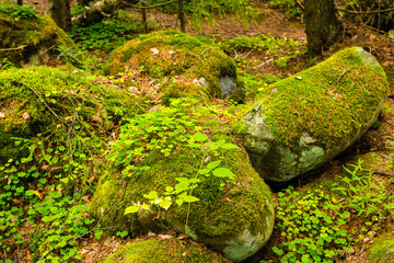 Shamrock on the rock in forest