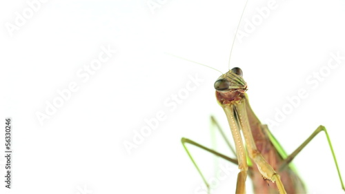 Praying mantis weaving then looking off to the right.