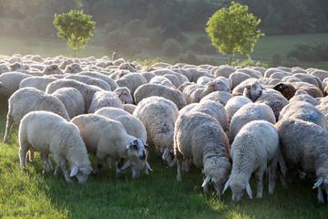 Große Schafherde