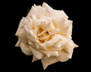 White Rose with Rain Drops against Black Background