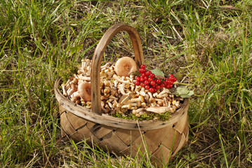 Young mushrooms honey agarics in a basket on a green lawn