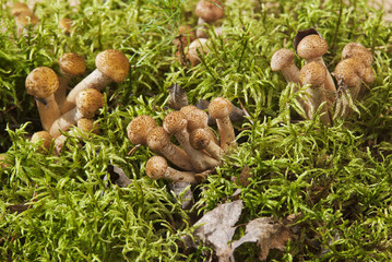 Young mushrooms honey agarics on a green lawn