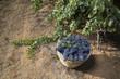 Cesto di vimini con grappoli d'uva