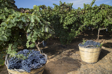 Cesti di vimini con grappoli di uva nera