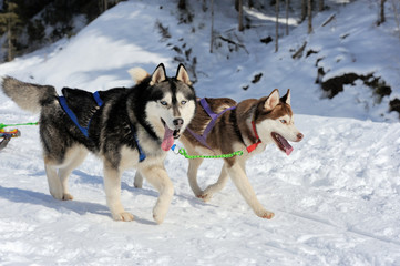 A team of Siberian sled dogs pulling a sled through the winter f