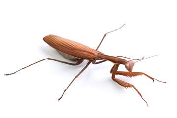 Mantis religiosa isolated on white