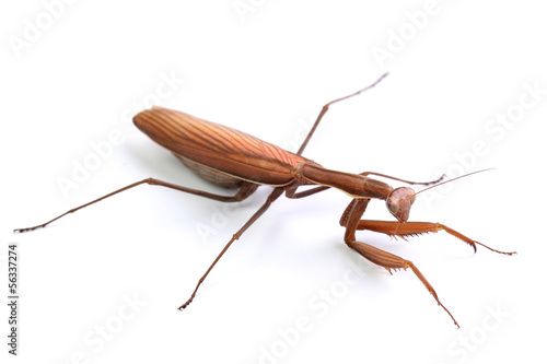 Mantis religiosa isolated on white